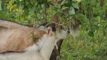 goats eating apples closeup