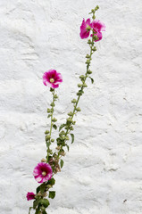 Hollyhocks on white background