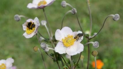 Пчела и шмель за работой
