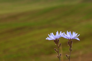 Two chicory