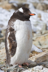 Gentoo penguin adult who molts and stands behind cover