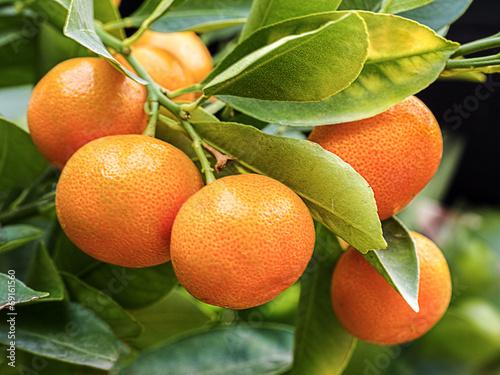 canvas print picture Orangenbaum