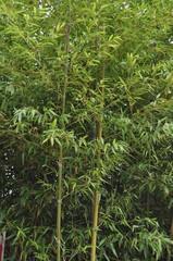 Fôret de bambous