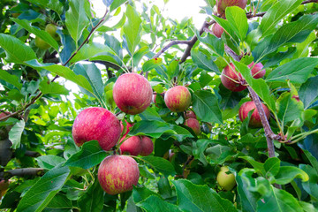 red apples in the tree
