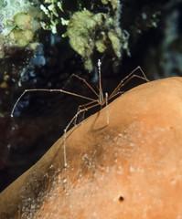 Caribbean Sea, Belize, Arrow Crab on a sponge