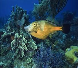 Caribbean Sea, Belize, U.W. photo, tropical Trigger fish
