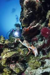 Caribbean Sea, Belize, diver close to a big Spider Crab
