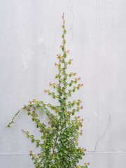 Green Creeper Plant on a White Wall