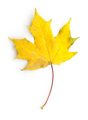 yellow maple leaf with clipping path