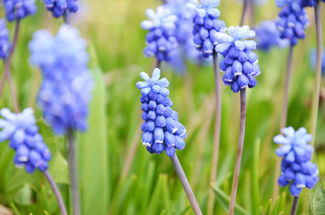 Muscari armeniacum flower in a defocused spring garden