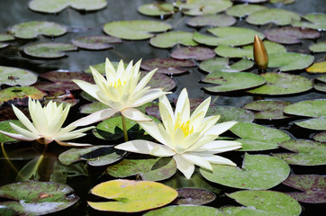 white lotus flowers in the pond