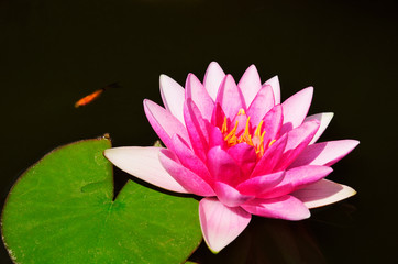 fish and pink lotus flower and leaves in the pond