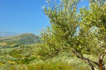 Drzewa oliwnego sadu w pobliżu petrokefali w Kreta, Grecja, Europa