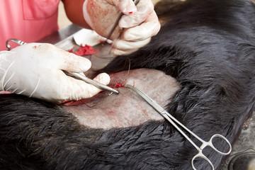 sterilization operation on dog