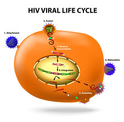 HIV replication cycle