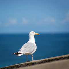 Seagull standing over blue sky and ocean isolated.