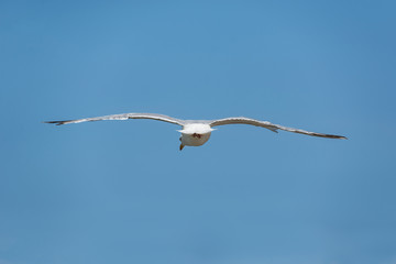 Seagull flying over blue sky isolated.
