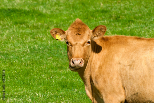 Poster Cow on a summer pasture