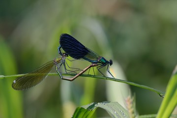Calopteryx splendes, mating
