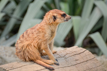 Meerkat - Suricate - Suricata suricatta