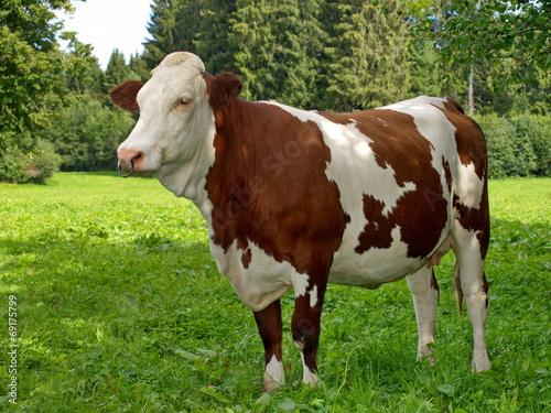Papiers peints Vache Montbéliarde