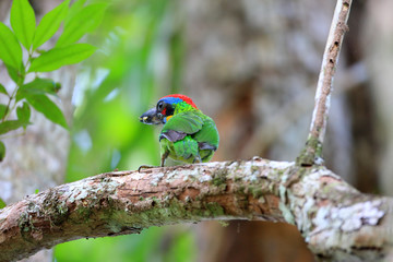 Red-crowned Barbet (Megalaima rafflesii) in South Thailand