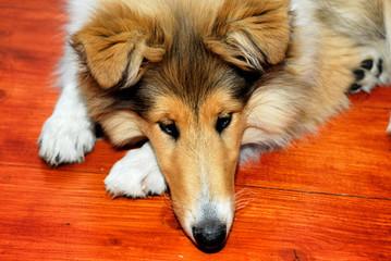 animal, collie, dog, home, hunting, brown