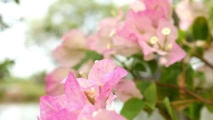 Pink bougainvillea flower close up