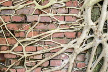 roots on brick wall