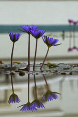 Isolated Water Lily reflection