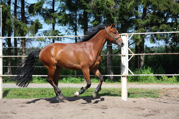 Brown horse galloping in the paddock