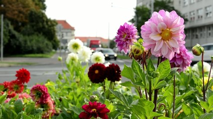 flower garden - a busy urban street with cars in the background