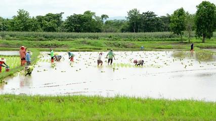 Group of farmer working hard on rice field