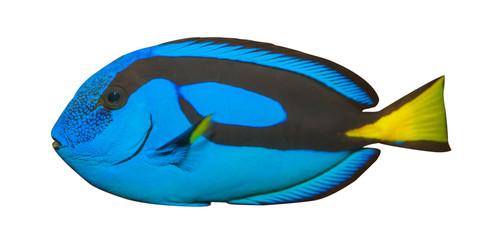 Blue Tang, Regal Tang on white background.Paracanthurus Hepatus