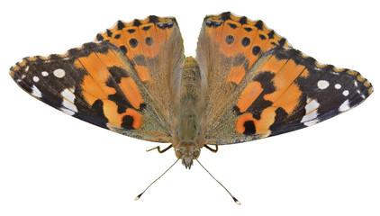 Butterfly (Vanessa cardui) 13