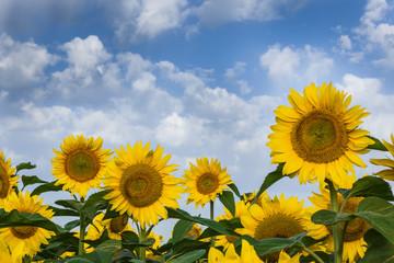 Sunflowers on a beautiful sky. Summer field.
