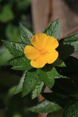 Sage Rose