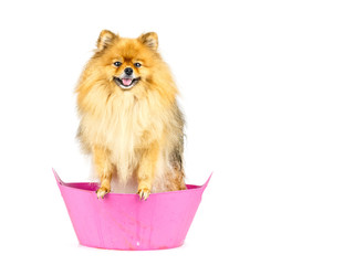 Pomeranian dog prepare to taking a bath standing in pink bathtub