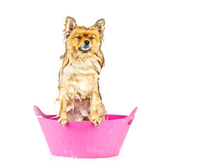 Pomeranian dog taking a bath standing in pink bathtub isolated o