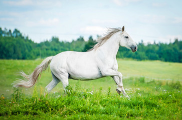 Beautiful white horse running on the summer field