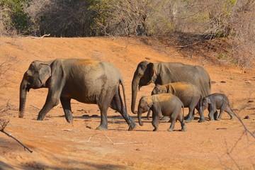 famille éléphants sri lanka yala
