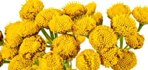 Blooming Tanacetum