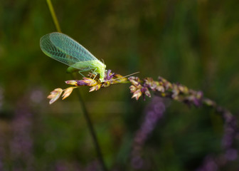 hungry lacewing