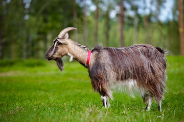 goat standing on the field