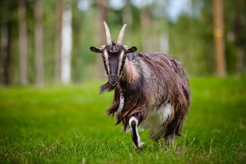 goat walking on a field