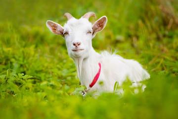 white goat lying down