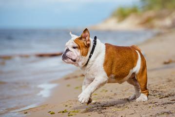happy english bulldog on the beach