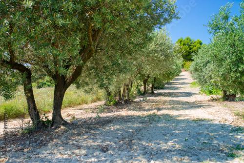 Fotobehang Olijfboom olive plantation