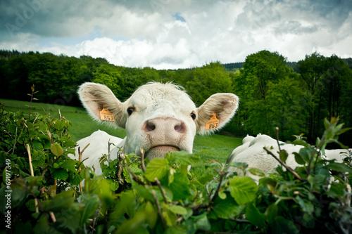 Papiers peints Vache Portrait de vache