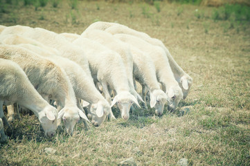 Sheep in a field eating grass on a summer day Tuscany